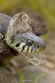 snake shed head img