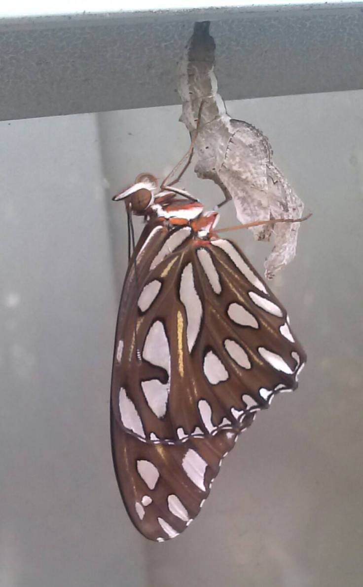 butterflybirth