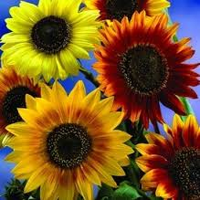 sunflowers in blue sky